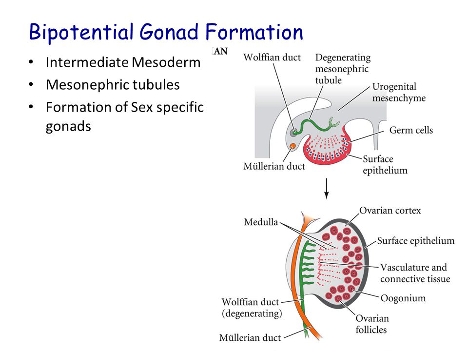 Bipotential Gonad Formation Intermediate Mesoderm Mesonephric tubules Formation of Sex specific gonads