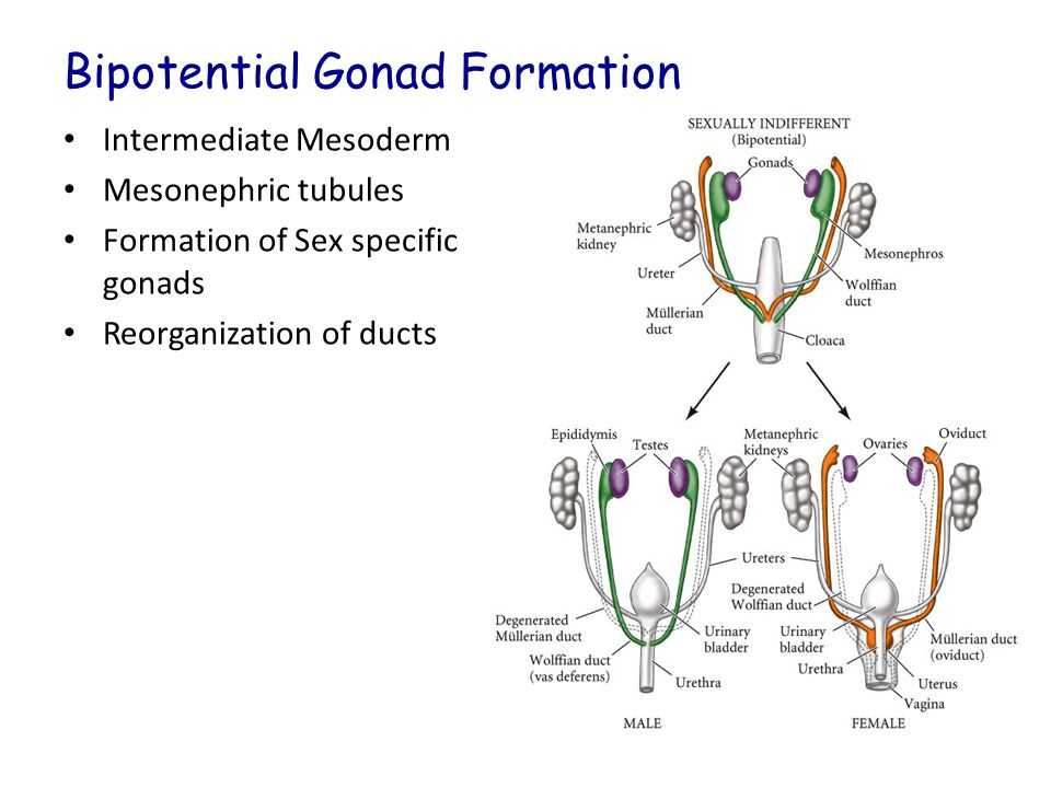 Bipotential Gonad Formation Intermediate Mesoderm Mesonephric tubules Formation of Sex specific gonads Reorganization of ducts Figure 14.3