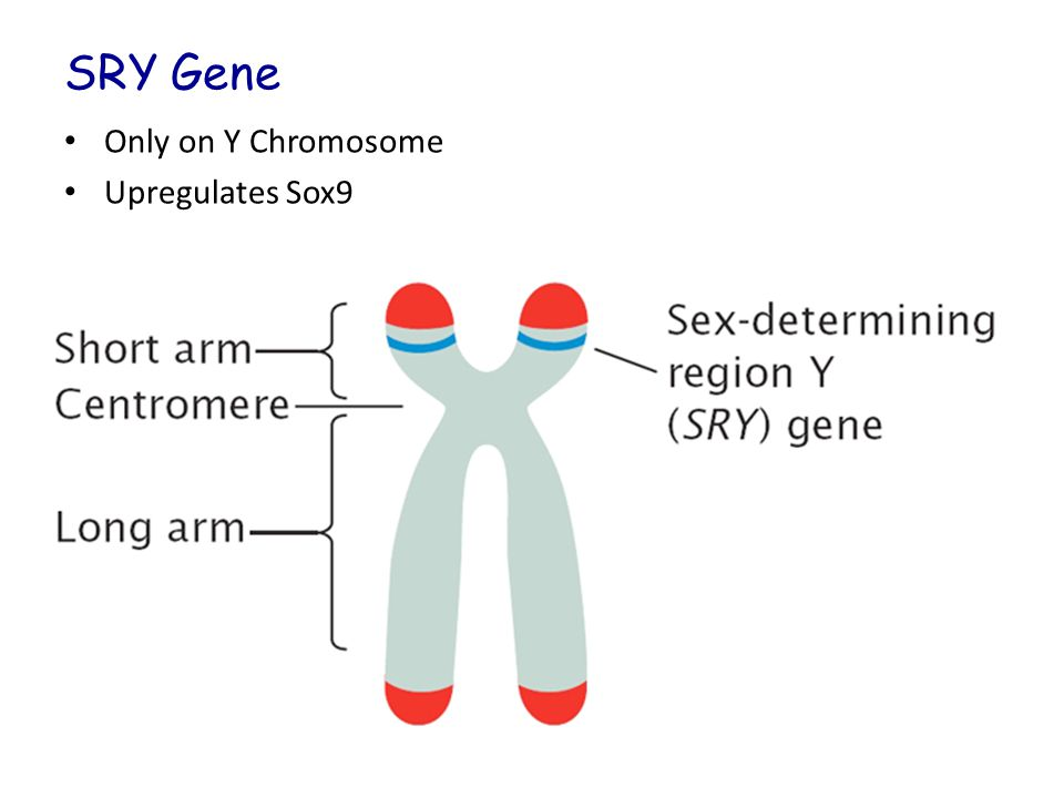 SRY Gene Only on Y Chromosome Upregulates Sox9
