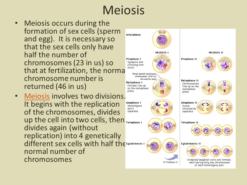 Meiosis Meiosis occurs during the formation of sex cells (sperm and egg).