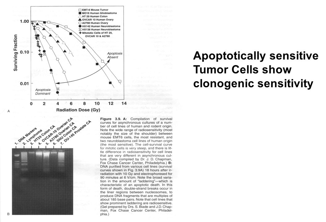 Defective DSB Repair Causes Cellular & Clinical Radiation Hypersensitivity From: Hall, Radiobiology for the Radiologist From: Hall and Giaccia, Radiobiology for the Radiologist
