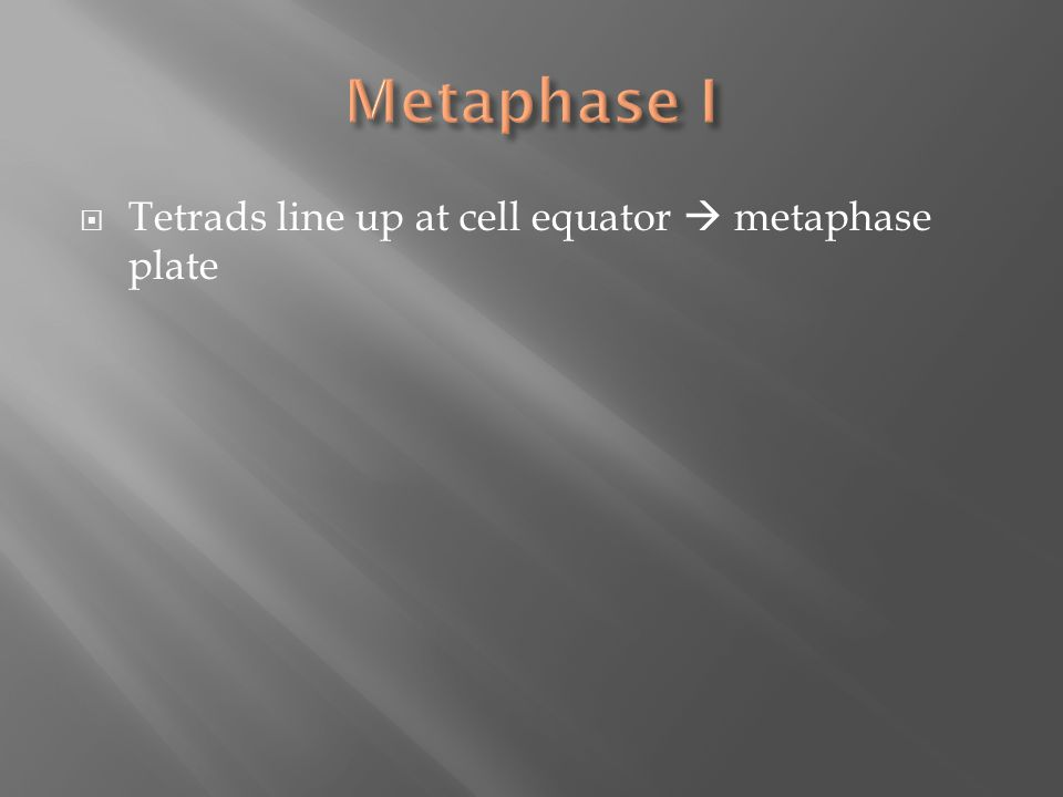  Tetrads line up at cell equator  metaphase plate