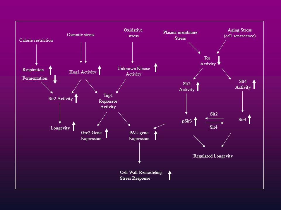 Oxidative stress Unknown Kinase Activity Tup1 Repressor Activity PAU gene Expression Plasma membrane Stress Aging Stress (cell senescence) Tor Activit