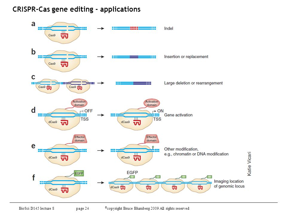BioSci D145 lecture 8 page 24 © copyright Bruce Blumberg 2009 All rights reserved CRISPR-Cas gene editing - applications