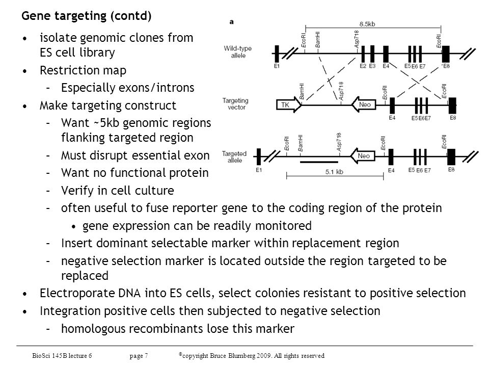 BioSci D145 lecture 8 page 18 © copyright Bruce Blumberg 2009 All rights reserved Conditional gene targeting (contd) –Tissue- or stage-specific knockouts from crossing floxed mouse with specific Cre-expressing line –requirement for Cre lines must be well characterized –promoters can't be leaky Andras Nagy's database of Cre lines and other knockout resources http://nagy.mshri.on.c a/cre_new/index.php http://nagy.mshri.on.c a/cre_new/index.php