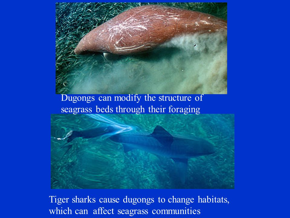 Dugongs can modify the structure of seagrass beds through their foraging Tiger sharks cause dugongs to change habitats, which can affect seagrass communities
