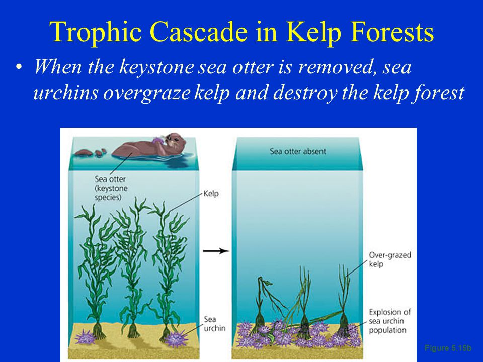 Trophic Cascade in Kelp Forests When the keystone sea otter is removed, sea urchins overgraze kelp and destroy the kelp forest Figure 5.15b