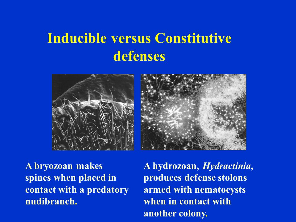 Inducible versus Constitutive defenses A bryozoan makes spines when placed in contact with a predatory nudibranch.
