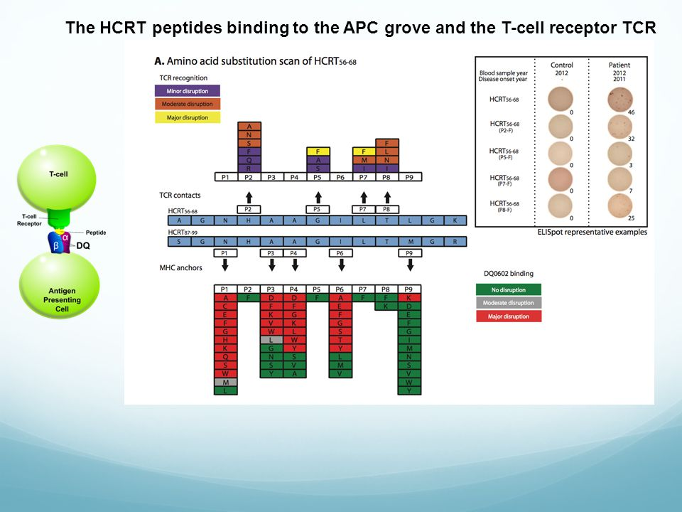 The HCRT peptides binding to the APC grove and the T-cell receptor TCR