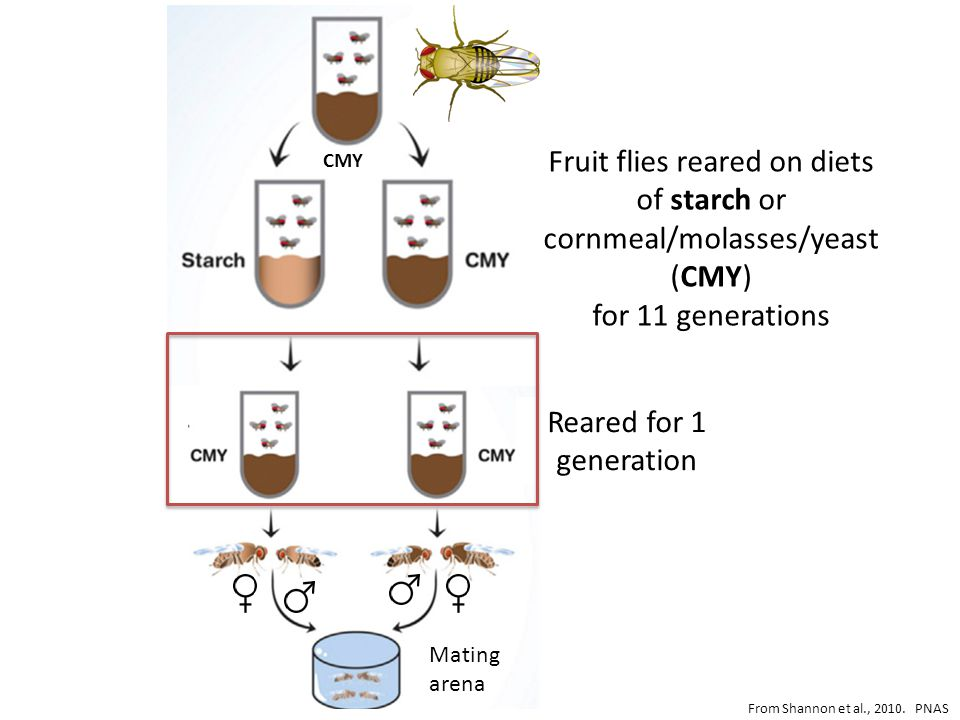 Mating arena Fruit flies reared on diets of starch or cornmeal/molasses/yeast (CMY) for 11 generations Reared for 1 generation From Shannon et al., 2010.