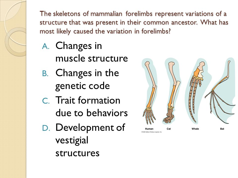 The skeletons of mammalian forelimbs represent variations of a structure that was present in their common ancestor. What has most likely caused the va