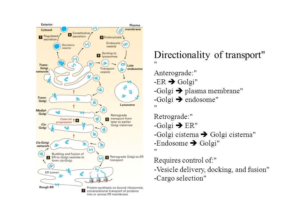 Directionality of transport
