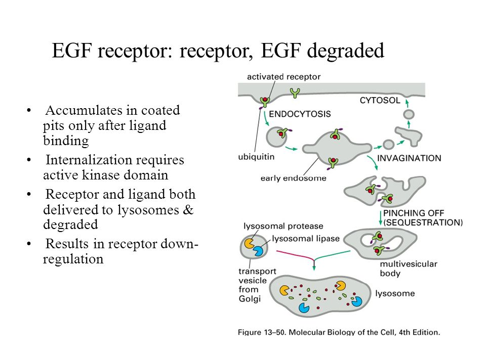 EGF receptor: receptor, EGF degraded Accumulates in coated pits only after ligand binding Internalization requires active kinase domain Receptor and ligand both delivered to lysosomes & degraded Results in receptor down- regulation