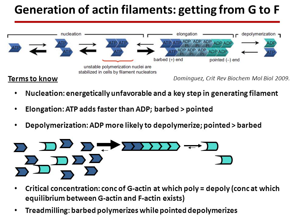 Generation of actin filaments: getting from G to F Dominguez, Crit Rev Biochem Mol Biol 2009.