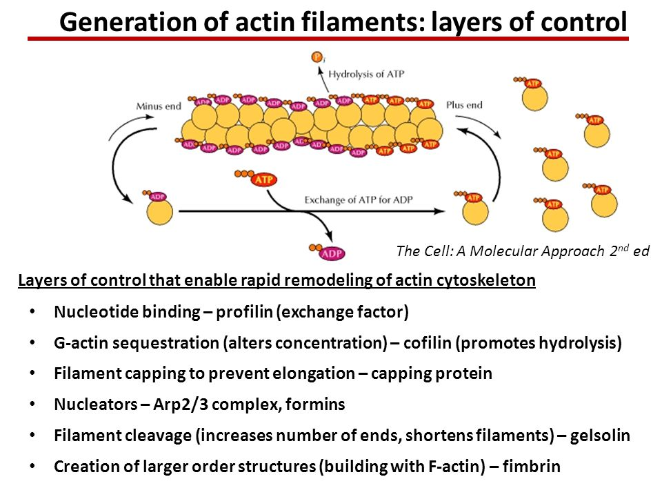 Generation of actin filaments: layers of control Nucleotide binding – profilin (exchange factor) Layers of control that enable rapid remodeling of actin cytoskeleton Nucleators – Arp2/3 complex, formins Filament cleavage (increases number of ends, shortens filaments) – gelsolin Filament capping to prevent elongation – capping protein Creation of larger order structures (building with F-actin) – fimbrin G-actin sequestration (alters concentration) – cofilin (promotes hydrolysis) The Cell: A Molecular Approach 2 nd ed
