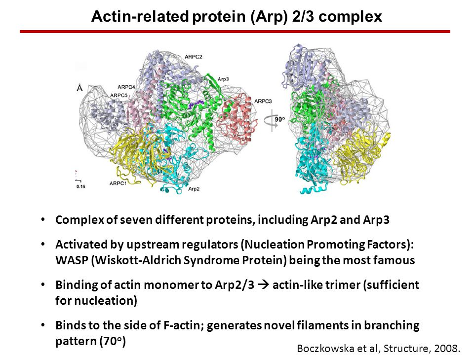 Actin-related protein (Arp) 2/3 complex Binds to the side of F-actin; generates novel filaments in branching pattern (70 o ) Complex of seven different proteins, including Arp2 and Arp3 Activated by upstream regulators (Nucleation Promoting Factors): WASP (Wiskott-Aldrich Syndrome Protein) being the most famous Binding of actin monomer to Arp2/3  actin-like trimer (sufficient for nucleation) Boczkowska et al, Structure, 2008.