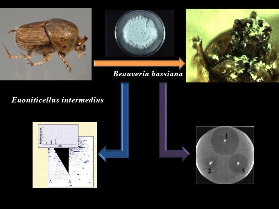 Beauveria bassiana Euoniticellus intermedius