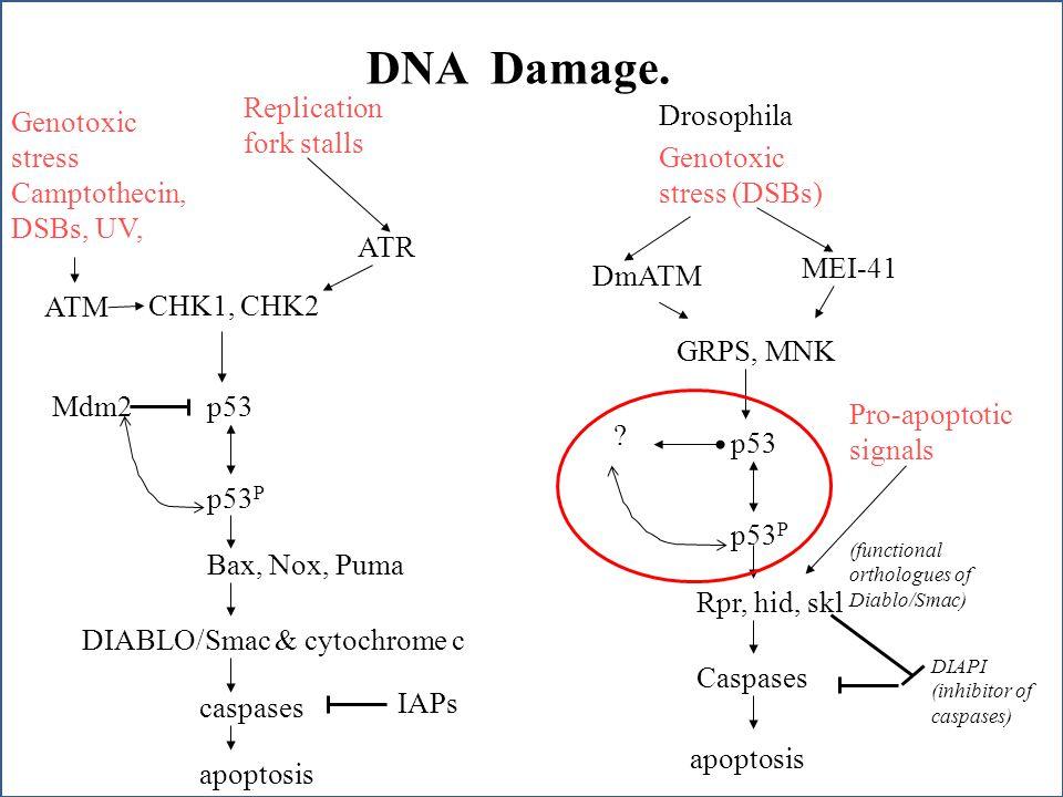 DNA Damage. Genotoxic stress Camptothecin, DSBs, UV, ATM CHK1, CHK2 p53 p53 P IAPs Bax, Nox, Puma DIABLO/Smac & cytochrome c caspases apoptosis Drosop