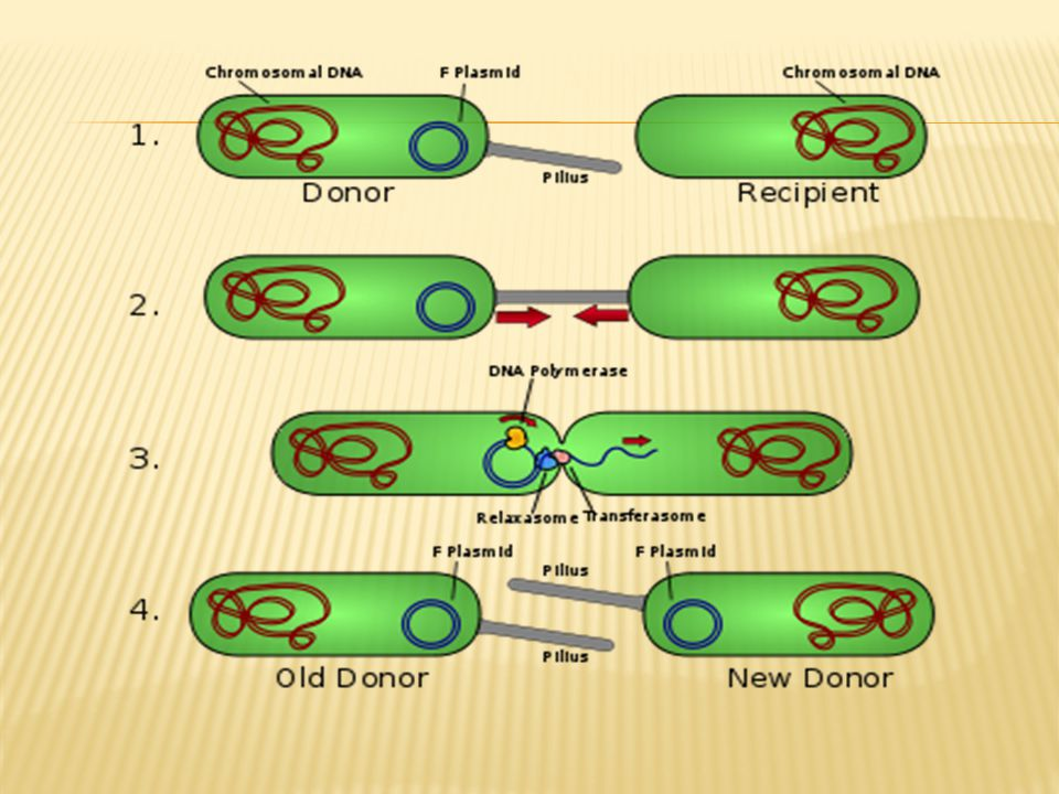  If the F-plasmid becomes integrated into the host genome, donor chromosomal DNA may be transferred along with plasmid DNA and the cell is called Hfr.