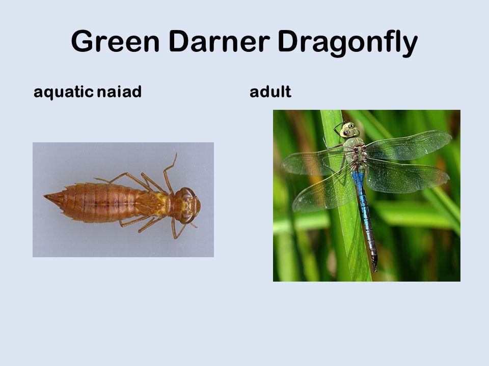 Green Darner Dragonfly aquatic naiadadult