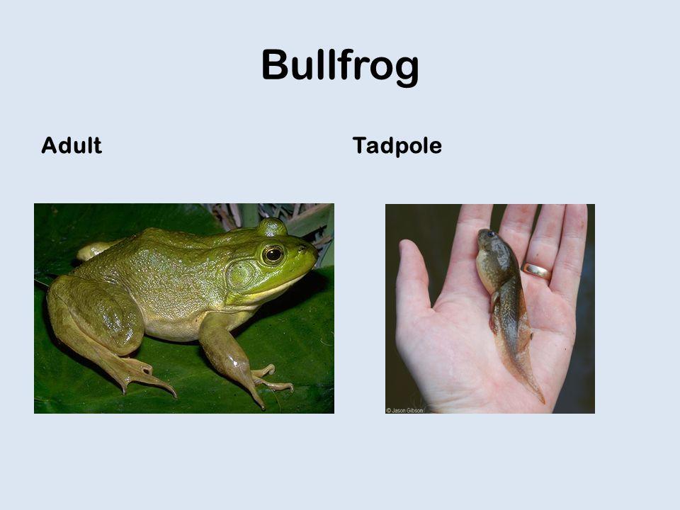 Bullfrog AdultTadpole