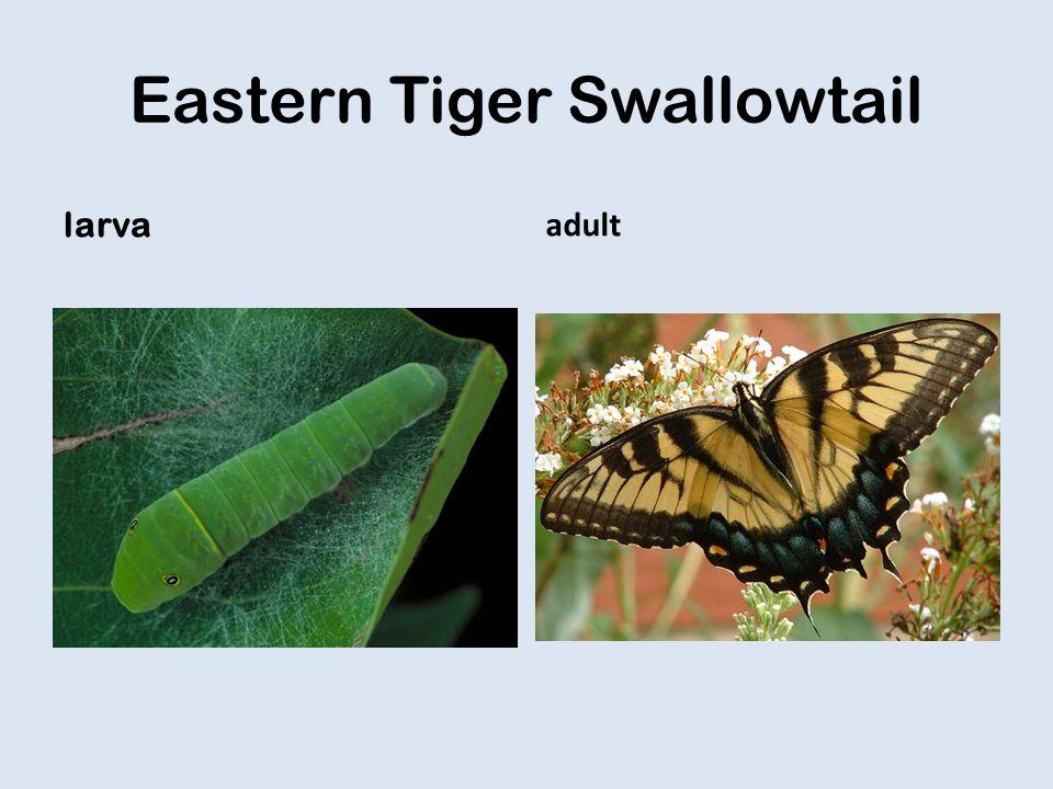 Eastern Tiger Swallowtail larva adult