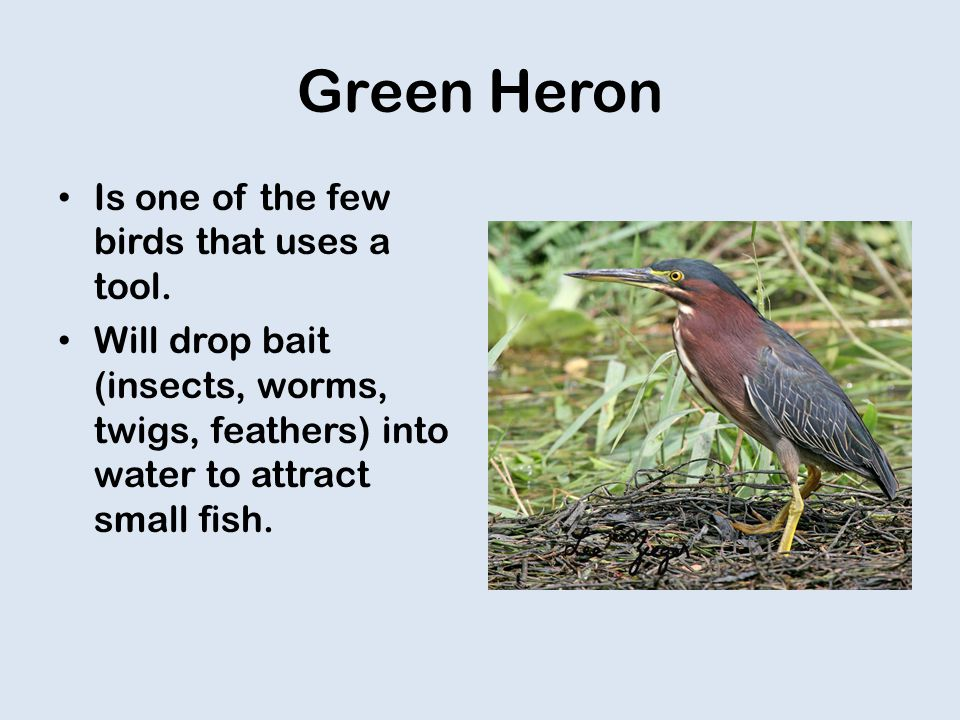 Green Heron Is one of the few birds that uses a tool.