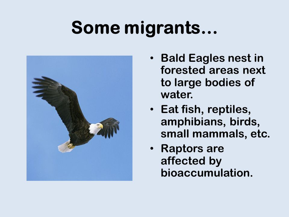 Some migrants… Bald Eagles nest in forested areas next to large bodies of water.