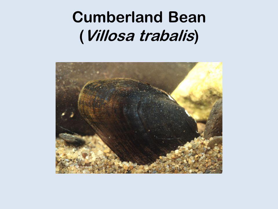 Cumberland Bean (Villosa trabalis)