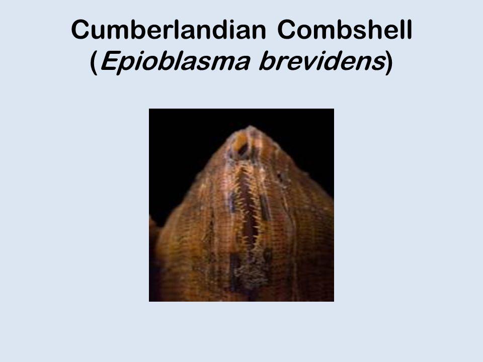 Cumberlandian Combshell (Epioblasma brevidens)