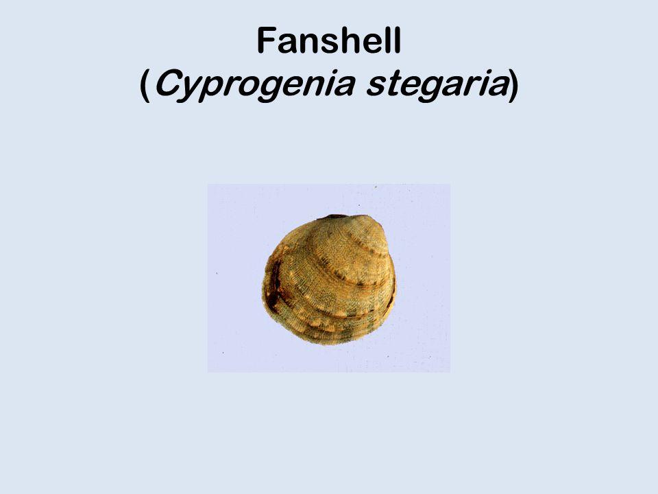 Fanshell (Cyprogenia stegaria)