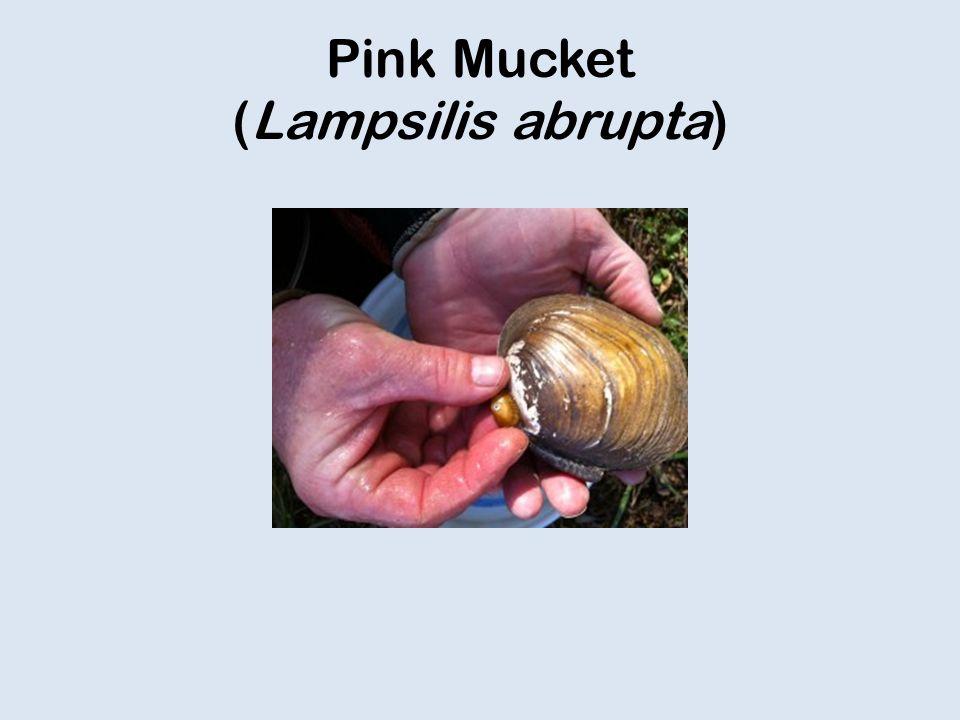Pink Mucket (Lampsilis abrupta)