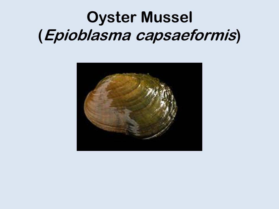Oyster Mussel (Epioblasma capsaeformis)