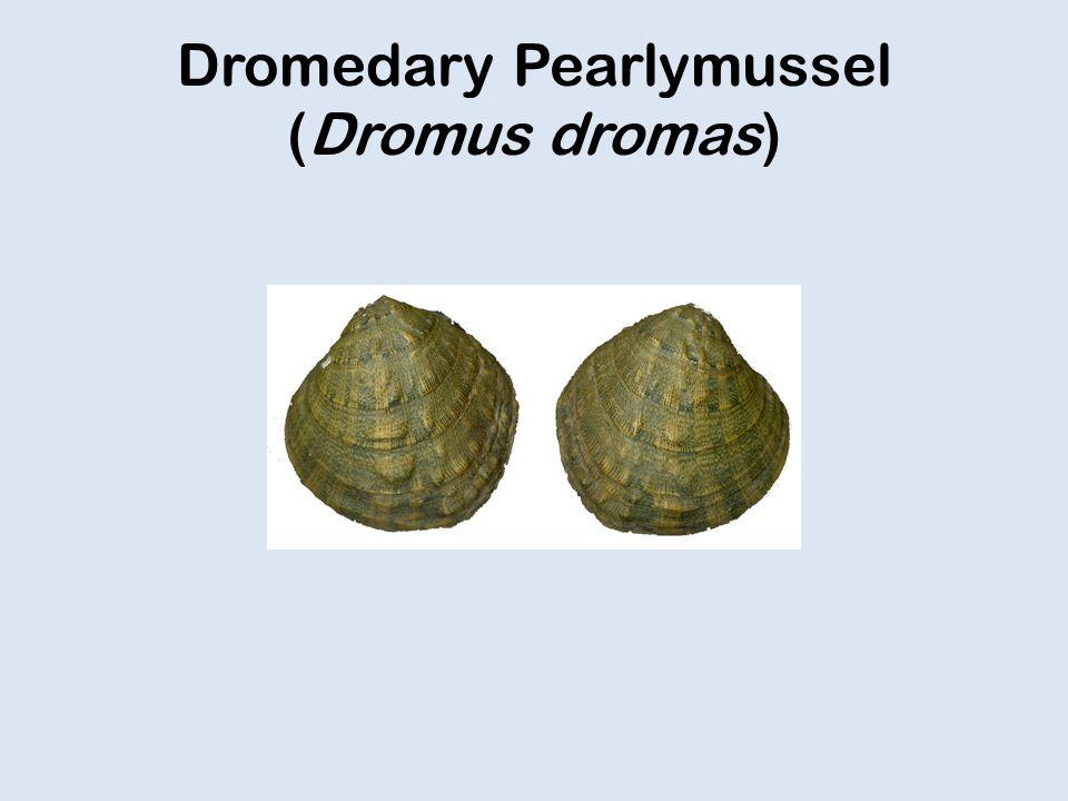 Dromedary Pearlymussel (Dromus dromas)