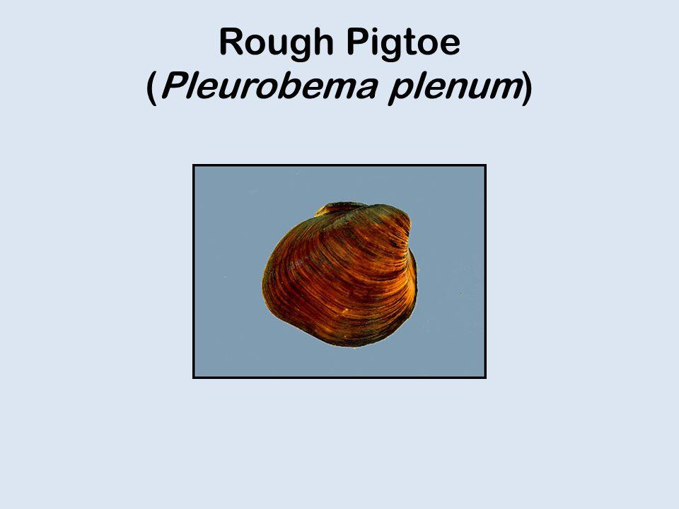 Rough Pigtoe (Pleurobema plenum)