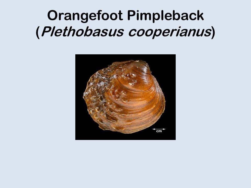 Orangefoot Pimpleback (Plethobasus cooperianus)