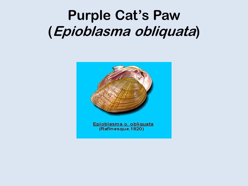 Purple Cat's Paw (Epioblasma obliquata)