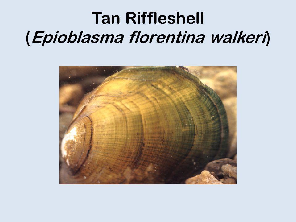 Tan Riffleshell (Epioblasma florentina walkeri)