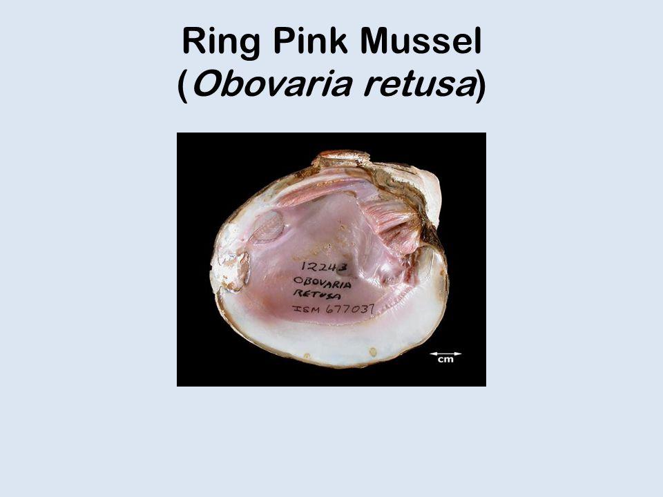 Ring Pink Mussel (Obovaria retusa)