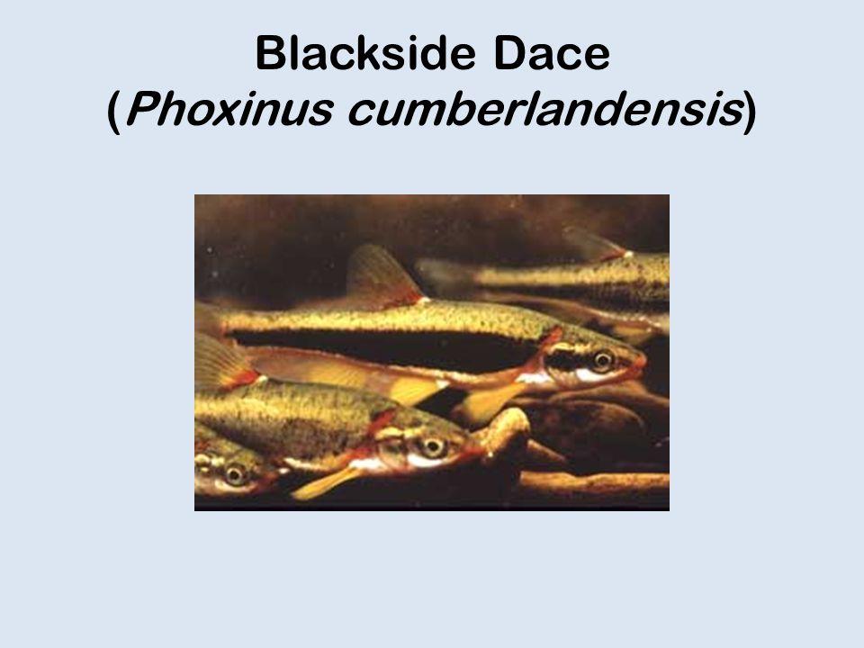 Blackside Dace (Phoxinus cumberlandensis)