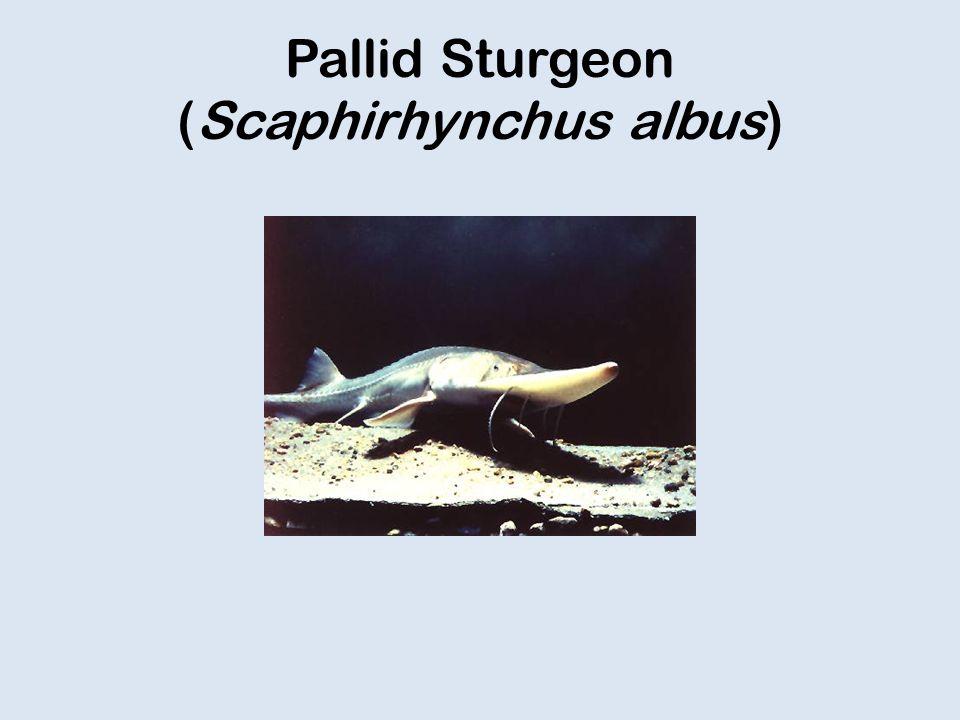 Pallid Sturgeon (Scaphirhynchus albus)