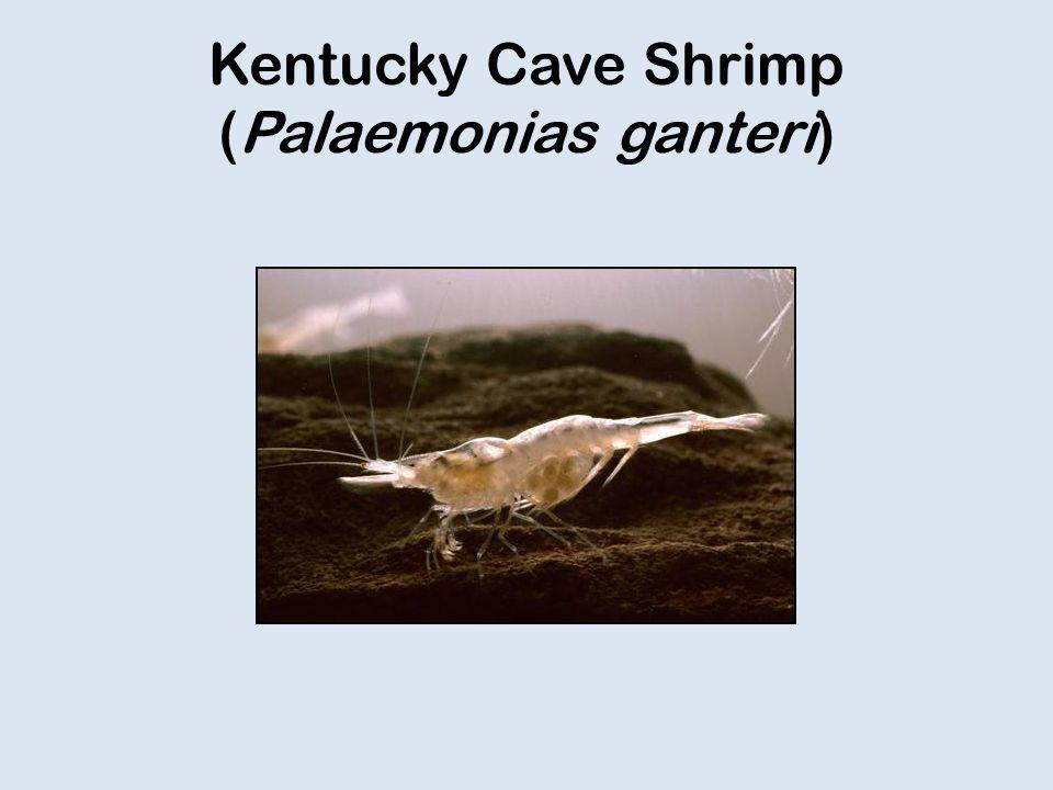 Kentucky Cave Shrimp (Palaemonias ganteri)