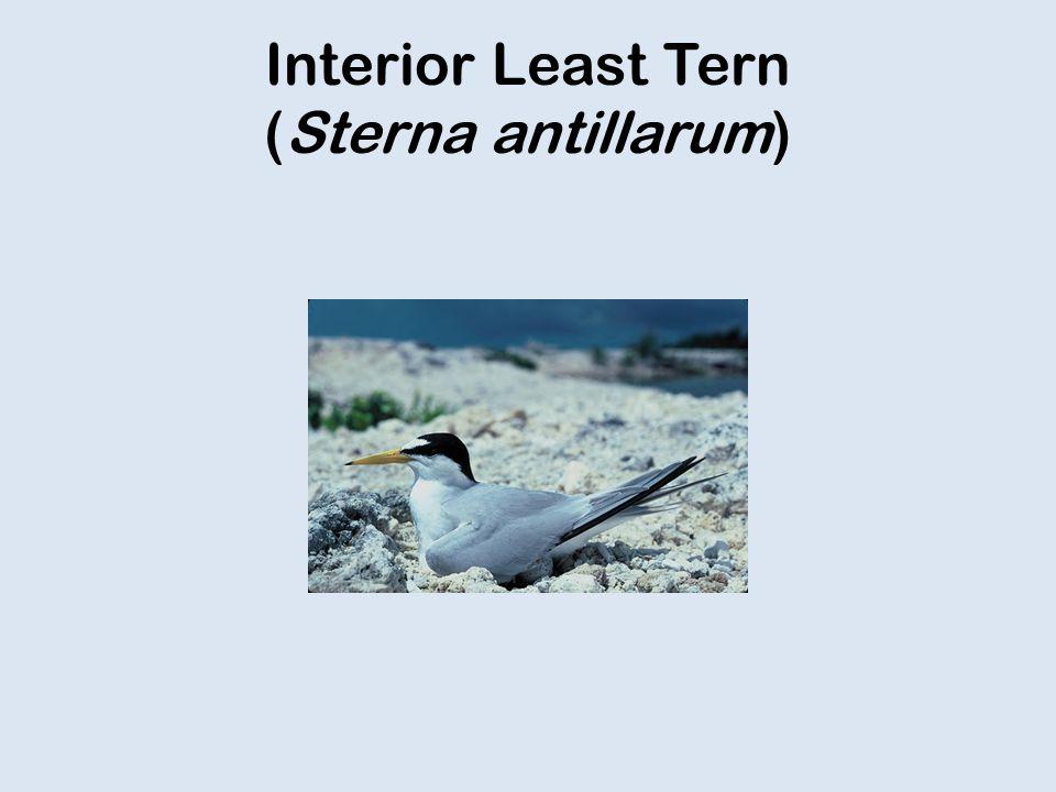 Interior Least Tern (Sterna antillarum)
