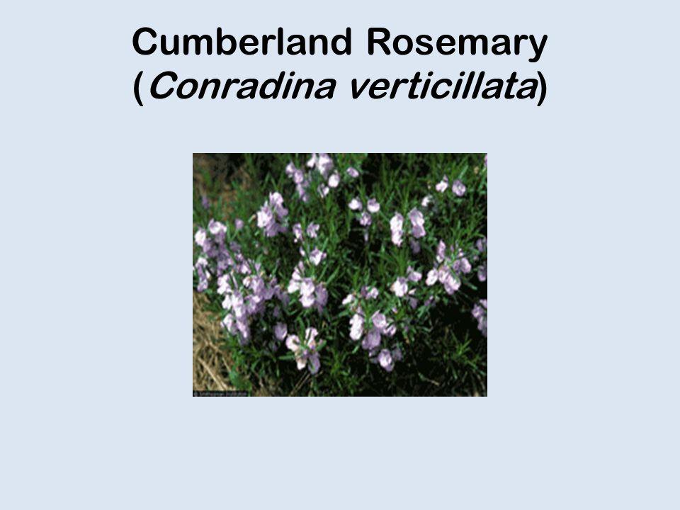 Cumberland Rosemary (Conradina verticillata)