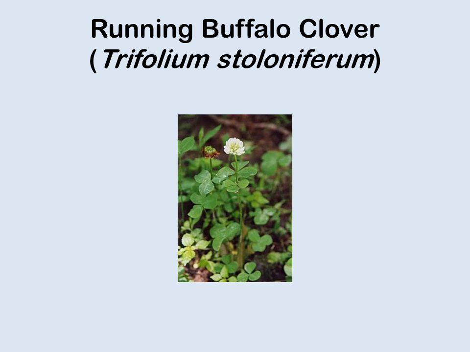 Running Buffalo Clover (Trifolium stoloniferum)