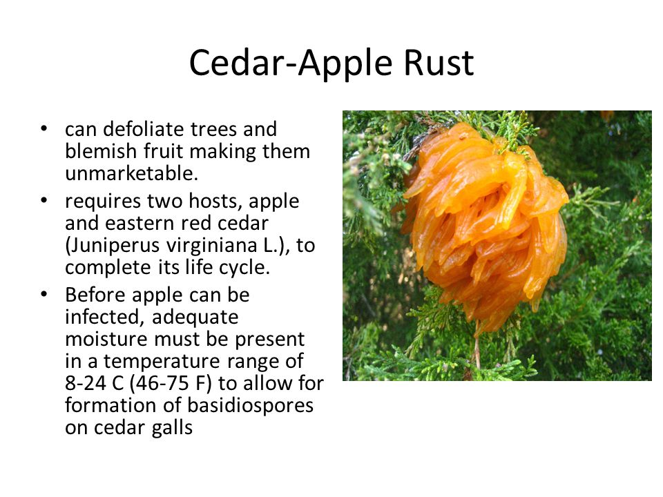 Cedar-Apple Rust can defoliate trees and blemish fruit making them unmarketable. requires two hosts, apple and eastern red cedar (Juniperus virginiana
