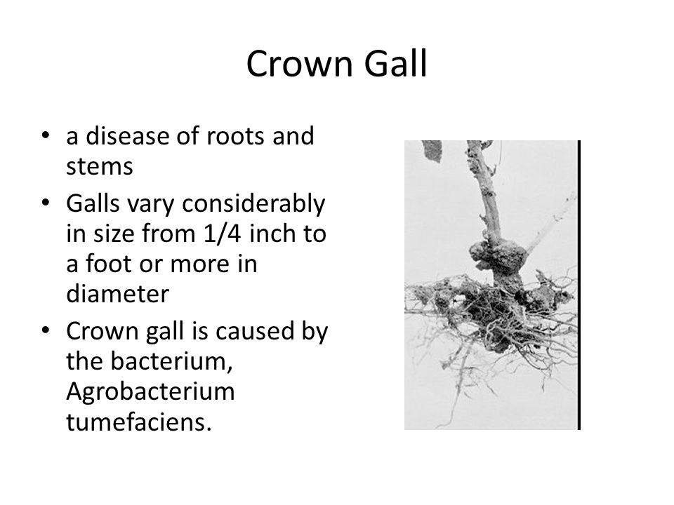 Crown Gall a disease of roots and stems Galls vary considerably in size from 1/4 inch to a foot or more in diameter Crown gall is caused by the bacter