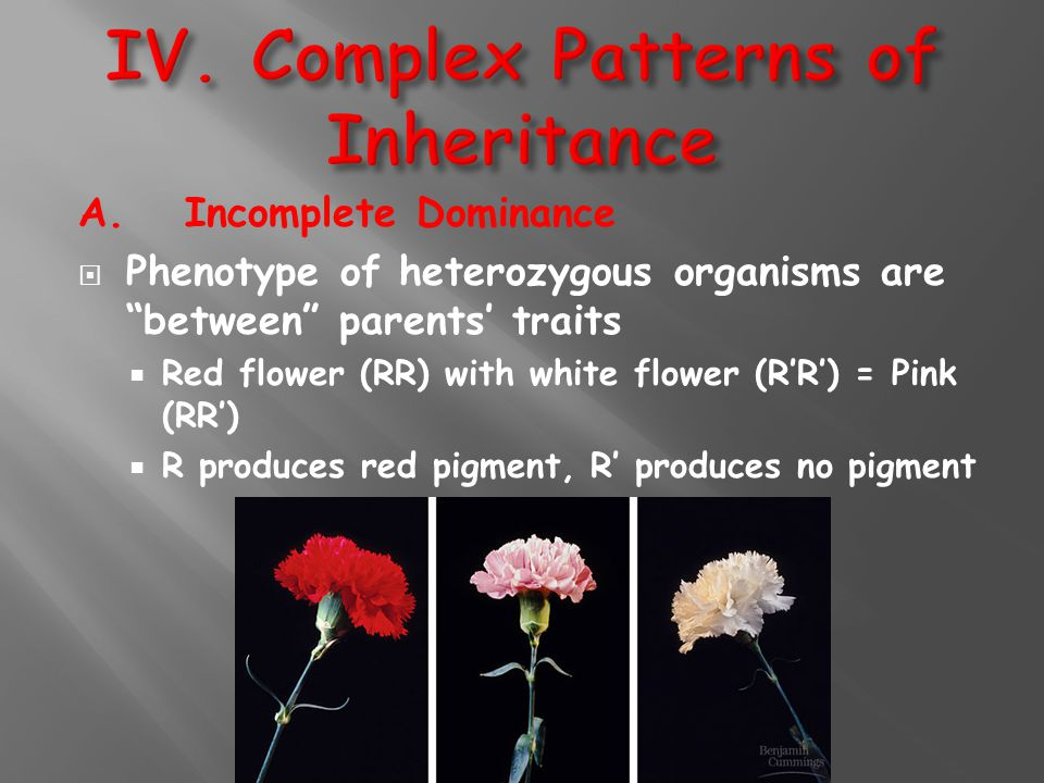 """A. Incomplete Dominance  Phenotype of heterozygous organisms are """"between"""" parents' traits  Red flower (RR) with white flower (R'R') = Pink (RR') """