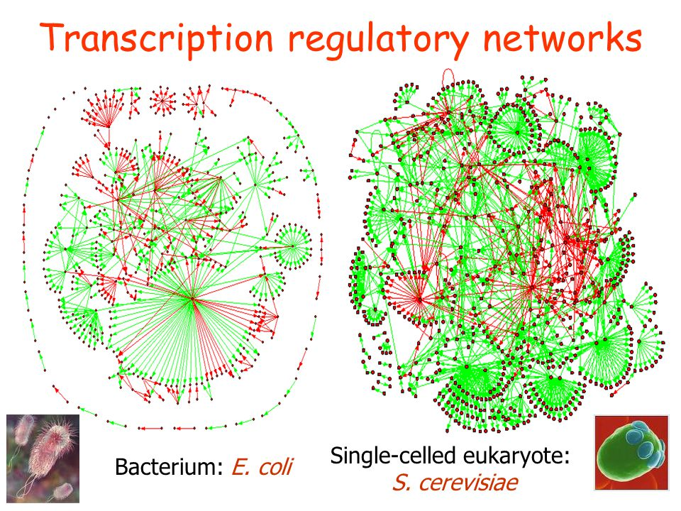 Transcription regulatory networks Bacterium: E. coli Single-celled eukaryote: S. cerevisiae