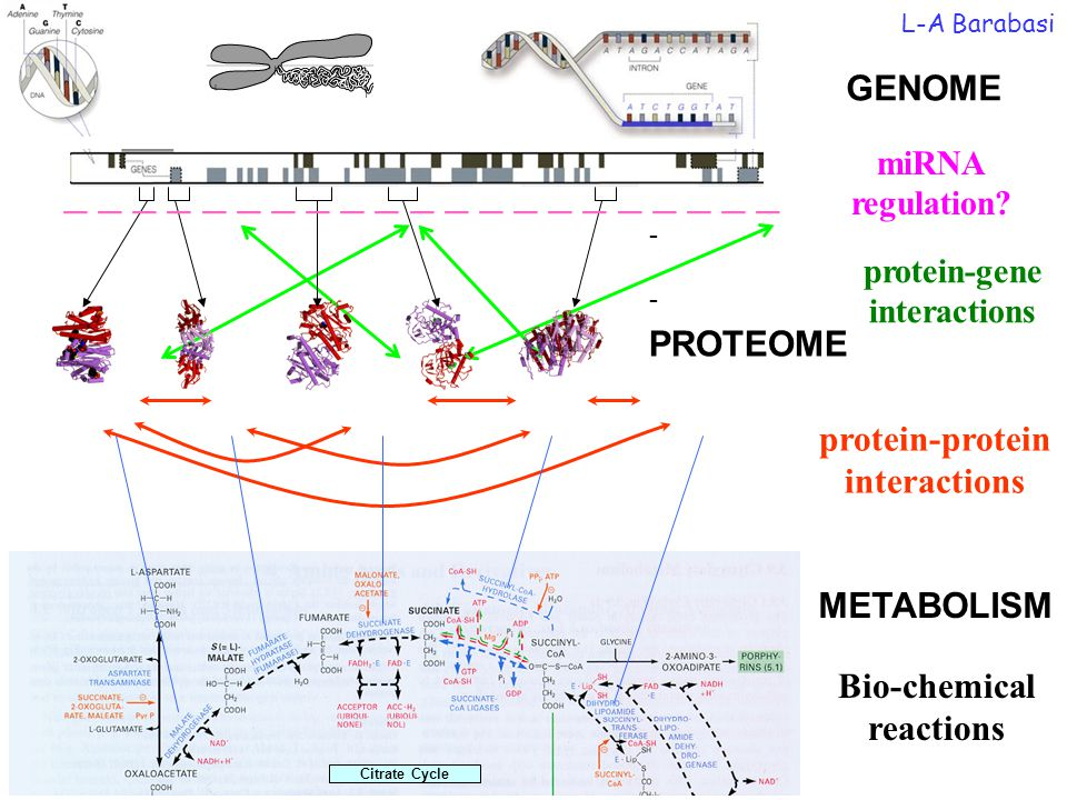 protein-gene interactions protein-protein interactions PROTEOME GENOME Citrate Cycle METABOLISM Bio-chemical reactions Bio-Map L-A Barabasi miRNA regu
